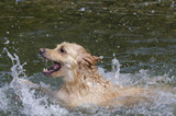 golden retriever running fast in the water of a lake