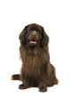 Sitting brown newfoundland dog looking up isolated on a white background
