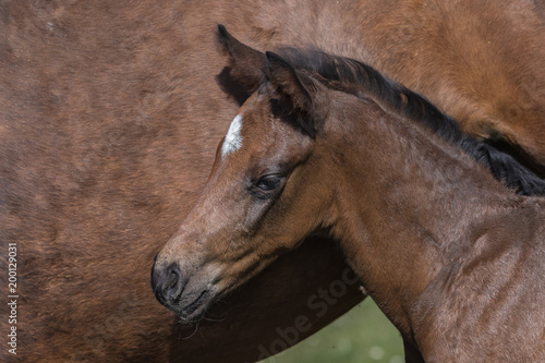 Fotobehang Paarden Kopf eines jungen braunen Fohlens neben dem Bauch seiner Mutter