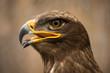 brown eagle animal portrait