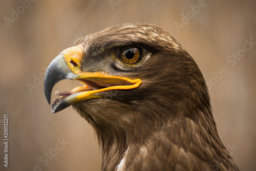 brown eagle animal portrait Poster