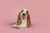 Cute lying down tan and white basset hound puppy on a pink background looking up
