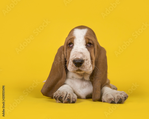 Foto Murales Cute tan and white basset hound lying down on a yellow background