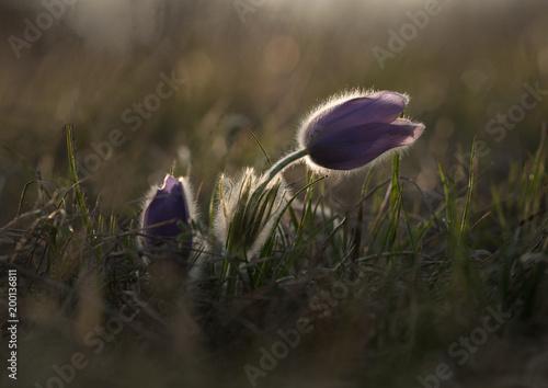 In de dag Ochtendgloren Greater pasque flower, Pulsatilla grandis