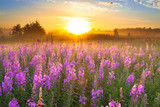 landscape with sunrise  and  blossoming meadow  purple flowers