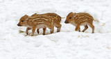 European wild boar piglet with stripes, characteristic feature of piglets. Three piglets - 200137683
