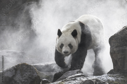 Canvas Panda Cute panda Nature Fog