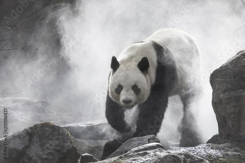 Cute panda Nature Fog