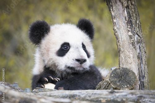 Plexiglas Panda Yuan Meng Baby panda cute