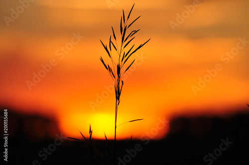 Poster Oranje eclat Silhouettes of blade of grass against the golden sunset sun
