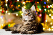 The big and lazy Maine Coon cat near the New Year tree with garlands