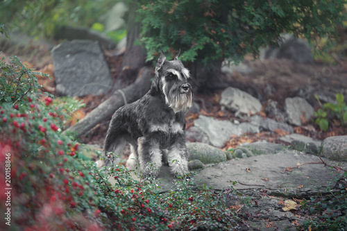 Foto op Plexiglas Natuur schnauzer dog standing in green near the lake