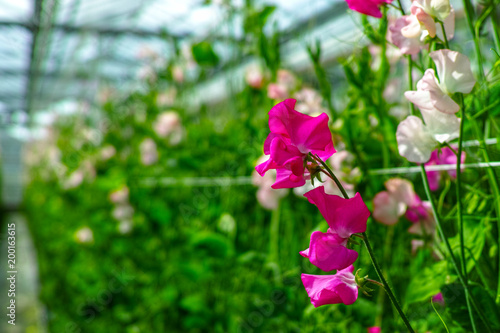 Cuthbertson Blend, Spenser type sweet peas colorful cut flowers cultivated as decorative or ornamental flower, growing in greenhouse
