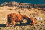 Büffel Rinder Highland