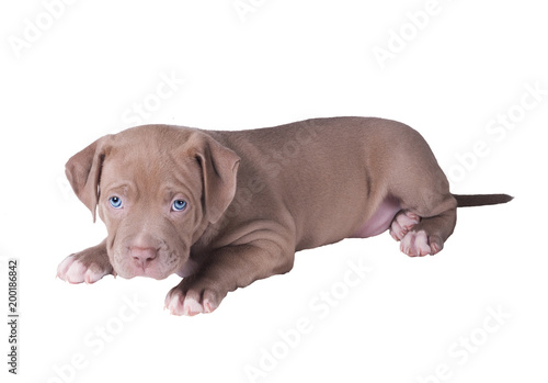 The sad puppy of the pit bull lies. Isolated on white background