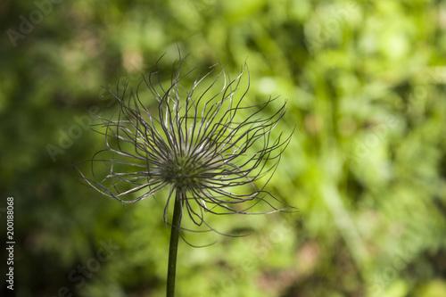 Fotobehang Paardenbloemen flowers and plants of Siberia