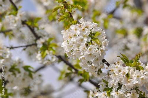 Sweet cherry in full bloom in spring. Cherry branches blossom, spring landscape background - 200201026