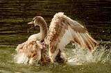Schwan Flügelschlag im Wasser - 200204832