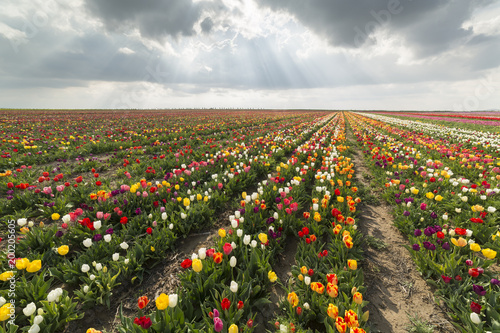 Aluminium Tulpen Beautiful field of colorful tulips in spring time.