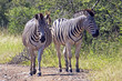 Two Zebra on Dirt Road in Natural Bushland Landscape
