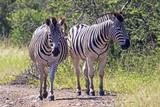 Fototapeta Two Zebra on Dirt Road in Natural Bushland Landscape