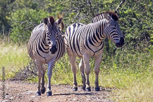 Two Zebra on Dirt Road in Natural Bushland Landscape