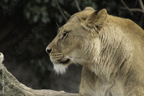 Plexiglas Lion Lioness resting powerfull animal looking at the camera