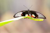 Common Mormon butterfly , Papilio polytes romulus