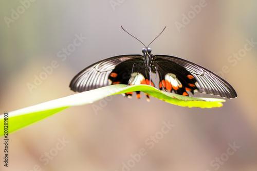 Foto Murales Common Mormon butterfly , Papilio polytes romulus