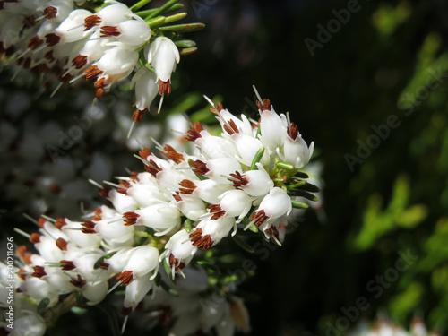Kwitnący biały Heath kwitnie zakończenie. Erica darleyensis