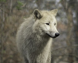 Wolf grey white hudson bay dog ancestor looking in the camera
