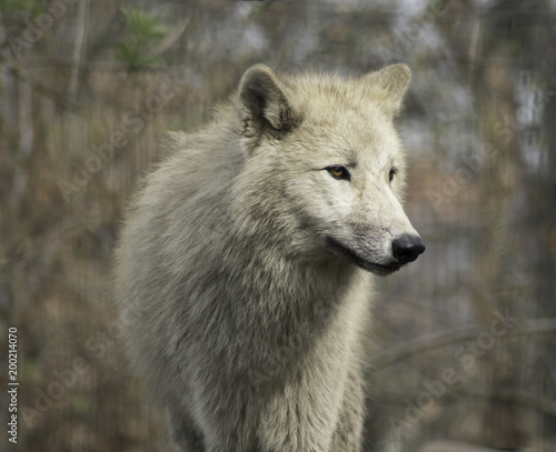 Fototapeta Wolf grey white hudson bay dog ancestor looking in the camera