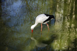 white stork in the water