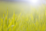 Blurry yellow green morning spring meadow with sunlight and flare background. Selective focus used. - 200227404