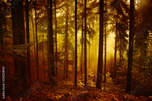 Magical morning orange red colored foggy forest tree landscape.