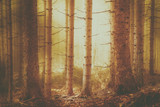 Creepy orange colored conifer tree forest landscape. Color filter effect and selective focus used. - 200228479