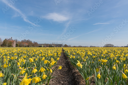 Foto Murales Yellow narcissus field
