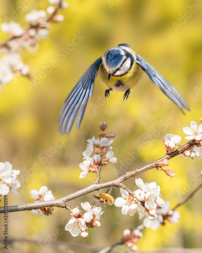 Blaumeise fliegt zu einem blühenden Zweig einer Blutpflaume, um einen großen Wollschweber zu fangen, der in der Obstblüte Nektar sucht - 200238899