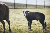 Lamb on the farm - 200239203
