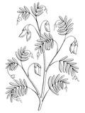 Lentil plant graphic black white isolated sketch illustration vector - 200240861