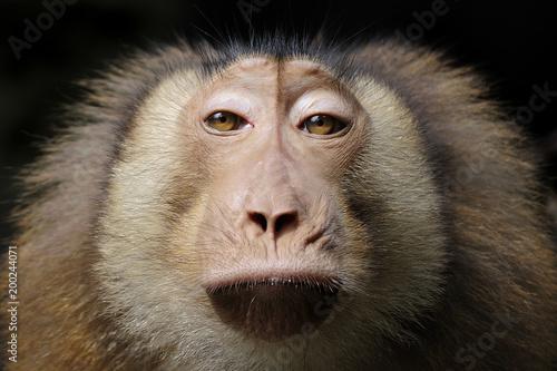 Foto Murales monkey portrait