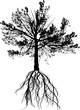 isolated large pine and black root
