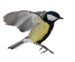 photo of flying isolated great tit