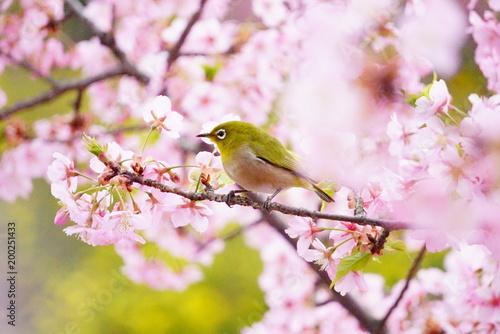Fotobehang Kyoto 京都淀水路の河津桜とメジロ