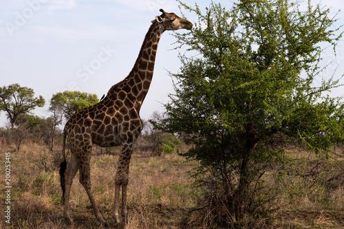 A giraffe eating, South Africa