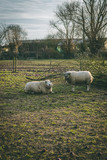 Two white sheep in the field in Holland during spring time - 200259227