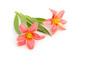 Tulpen liegen auf weißem Hintergrund