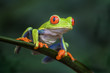 Red-eyed Tree Frog - Agalychnis callidryas, beautiful colorful from iconic to Central America forests, Costa Rica.