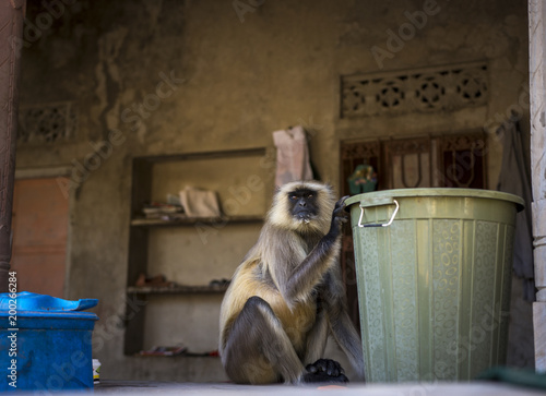 Gray Langur photographed in national park Ranthanbhor in India