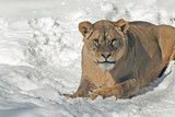 a lion on a snowy background